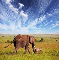Elephant With Cute Calf