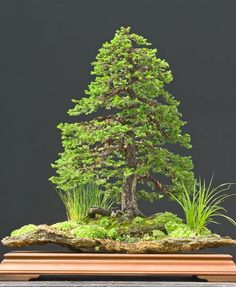 Ezo Spruce (Picea jezoensis) by Walter Pall