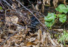 Foto anu-coroca (Crotophaga major) por Evaldo HS Nascimento | Wiki Aves - A Enciclopédia das Aves do Brasil