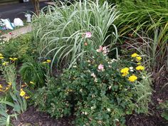 A combination of ornamental grass and roses!