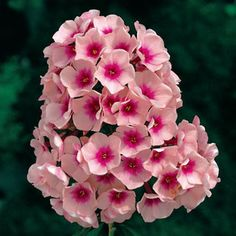 Bright Eyes Phlox paniculata Plant:  Winner of the Award of Garden Merit from the Royal Horticulture Society in 1993.