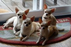 Chihuahuas do possess a tendency to yap quite frequently, which can get out of hand with out the correct coaching.