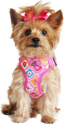 Everything About The Tenacious Yorkshire Terrier Dog Personality Yorkshire Terrier Haircut, Yorkshire Terrier Puppies, I Love Dogs, Cute Dogs, Maui, Cavalier King Charles Spaniel, King Spaniel, Yorshire Terrier, Top Dog Breeds