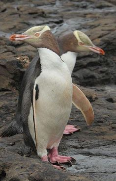 Penguin Planet : New England, Curio Bay, Yellow Eyed Penguin.