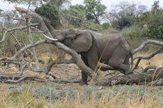 Sleepy Elephant - Mana Pools, Zimbabwe