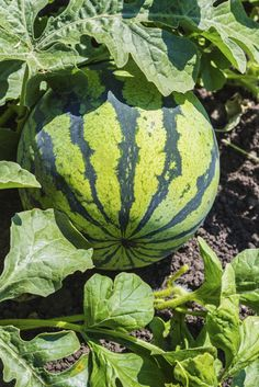 Fertilizing Watermelons: What Fertilizers To Use On Watermelon Plants - Growing your own watermelon may take a bit of work but is definitely rewarding. In order to get the sweetest, juiciest melon, what kind of fertilizer do you need to use on watermelon Watermelon Plant, Watermelon Patch, How To Grow Watermelon, Fruit Garden, Edible Garden, Lawn And Garden, Vegetable Garden, Growing Melons, Growing Plants