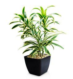 Dracaena reflexa Nombre común Canción de la India. Planta de interior, muy noble de cuidados.