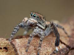 _X8A6967 peacock spider Maratus montanus | by Jurgen Otto