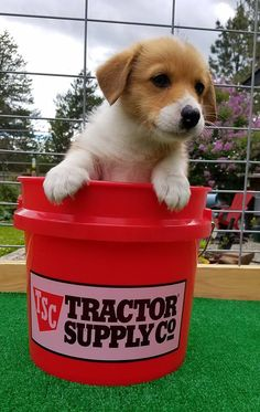 Puppy in a Tractor Supply bucket :)