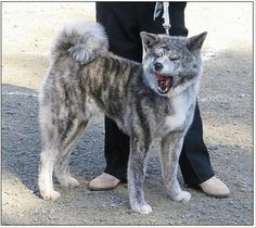 Tora Dog - Google Search