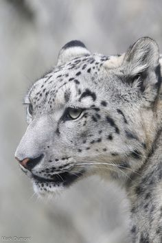 https://flic.kr/p/AxvdVd | Snow Leopard