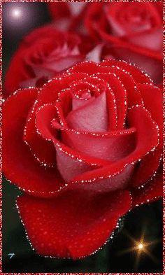 Шикарная роза.