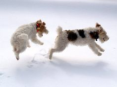 Two Fox Terrier in the snow.