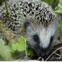 The first hedgehog was domesticated in 4 B. The Romans raised hedgehogs for quills and meat. Garden Deco, Love Garden, Black Garden, Amazing Animal Pictures, Hedgehog Pet, Garden Animals, Woodland Garden, Plantation, Horticulture
