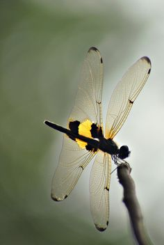 dragonfly_wings