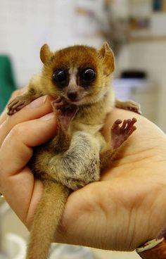 Marohita mouse lemur | Image above, Goodman's mouse lemur ( Microcebus lehilahytsara ) a ...