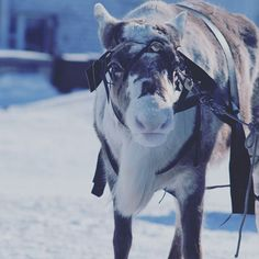 #deer #animal #cute #winter #snow #Ямал #ЯНАО #Ныда #photography #photo