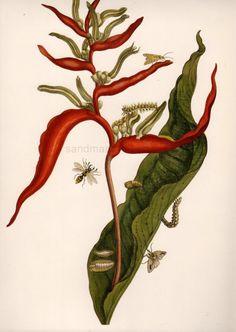 Heliconia and Potter Wasp Maria Sibylla Merian