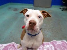 ❤️SAFE 02/19/17 My name is ROSE aka CELO. My Animal ID # is A1103250. I am a spayed female br brindle and white pit bull mix. The shelter thinks I am about 2 YEARS I came in the shelter as a STRAY on 02/08/2017 from NY 11411, owner surrender reason stated was ABANDON.  This sweet girl was ABANDONED! She deserves her FOREVER home‼️