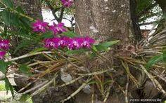 suporte de madeiras para orquideas ile ilgili görsel sonucu