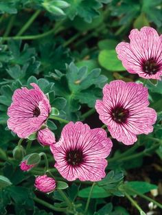 Geranium cinereum, Ballerina geranium, is a mounded dwarf perennial that has gray-green leaves and large purplish-pink flowers with purple veins and eyes. This geranium prefers full sun and good drainage.