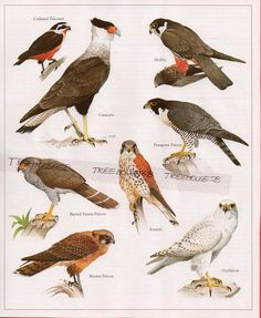 vintage hawk illustration - Google Search