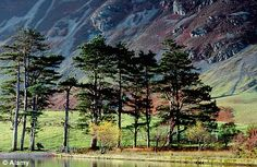 Scots pines in the Buttermere Valley, Cumbria