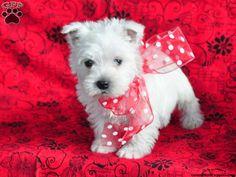 Mark the Westie puppy!