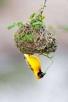 Nest weaver