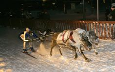 The reindeer sprints held in Rovaniemi every year. photo © Rovaniemi Tourist Information - www. Finland Culture, Lapland Holidays, Year Of Independence, Tourist Information, Crazy People, Helsinki, Norway, Moose, Countries