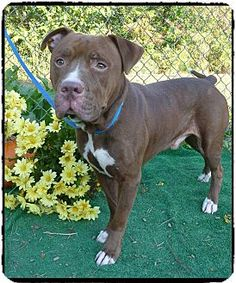 Act quickly to adopt . Pets at this Shelter may be held for only a short time.Marietta, GA - Pit Bull Terrier/Labrador Retriever Mix. Meet MAXWELL a Dog for Adoption.