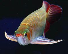 霸王辣椒紅龍 Beautiful Tropical Fish, Beautiful Fish, Oscar Fish, Koi Painting, Betta Fish Types, Dragon Fish, Discus Fish, Freshwater Aquarium Fish, Busa