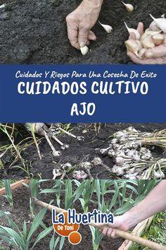 Cuidados Y Riego De Los Ajos - La Huertina De Toni Crochet Capas, Bb, Gardening, Harvesting Garlic, Growing Vegetables, Growing Plants, Ginger Plant, Plants, Garten