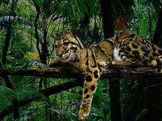 Clouded Leopard. Magnificent animals, but they definitely hate guys! lol