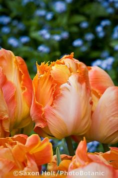 Parrot tulip 'Professor Rontgen', -will plant these, my favorite color of flowers!!