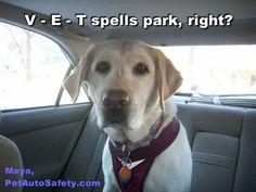 Labrador Maya in Kurgo Dog Car Harness Spelling Vet
