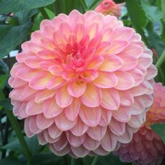 Dahlia Hillcrest Suffusion, British Seasonal Flowers Grown here at Swan Cottage Flowers, Buckinghamshire