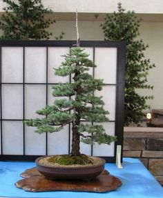 Colorado Blue Spruce.  Looks like the perfect little christmas tree :)