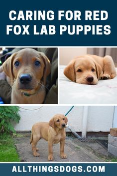 Lab puppies can be black, yellow or chocolate. All three colors can be born in the same litter. Red Fox Lab puppies are pretty much fully grown by one year old and usually reach their full height by nine months old. Read on to learn how to care for them before you bring them home.  #redfoxlab #redfoxlabpuppies #foxredlabrador