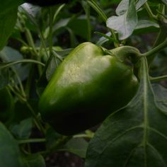 Piiman green pepper
