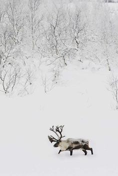 Moose in winter