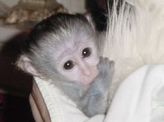 This is the kind of monkey I want one day- I just love them!!!