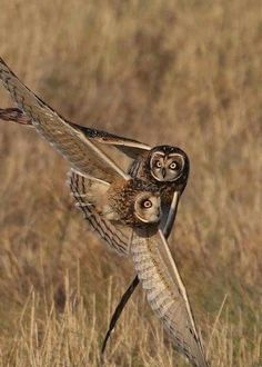 A stunning shot of a pair of Owls in flight!
