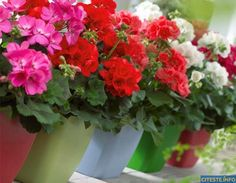 to Bring Geraniums Indoors for Winter What's so great about geraniums? Well, if you took cheerfulness, contentment and good old-fashioned stability, and made a flower, geraniums would be it. Geraniums Indoors, Growing Geraniums, Fall Planters, Planter Pots Outdoor, Mother Plant, Geraniums, Orchid Care, Container Gardening Vegetables, Outdoor Planters