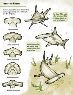 Hammerhead Shark head details for science project Orcas, Theme Tattoo, Animal Facts, Marine Biology, Ocean Creatures, Shark Week, Sea World, Ocean Life, Marine Life