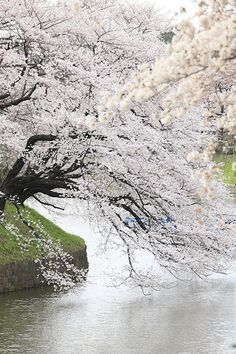 flexible, Chidorigafuchi, Tokyo, Japan, by Cate, on flickr.
