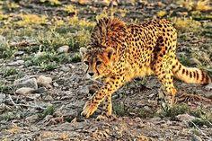 Asiatic/Iranian Cheetah, Turan National Park - called Iranian Africa, is 2nd largest biosphere reserve in the world (after serengeti in Tanzania), Sharoud, Semnan province, Iran (Persian: یوزپلنگ ایرانی, پارک ملی توران - شاهرود - استان سمنان. توران (خارتوران) را آفریقای ایران لقب دادهاند. ذخیرهگاه زیست کره توران با مساحت ۱۴۷۰۶۴۰ هکتار بزرگترین ذخیره گاه زیست کره ایران است که بعد از سرنگتی آفریقا واقع در کشور تانزانیا دومین منطقه بیوسفر جهان به شمار می آید.) Photo: Mohammad Salami