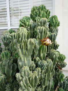 Cereus Monstrose Cactus | I Love Scottsdale