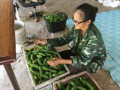 """ผลผลิต มะระ ที่สวน..!!!!                    """" #มะระ """"  ช่วย #ลดน้ำตาลในเลือด #เบาหวาน   กินกับน้ำพริก อร่อย ดีกับสุขภาพ"""