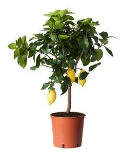 Citronträd från Ikea